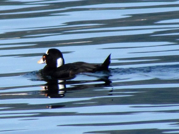 surf scoter closeup