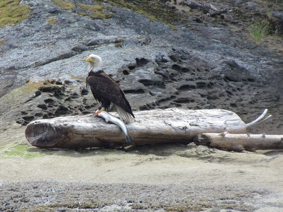 Eagle with Salmon