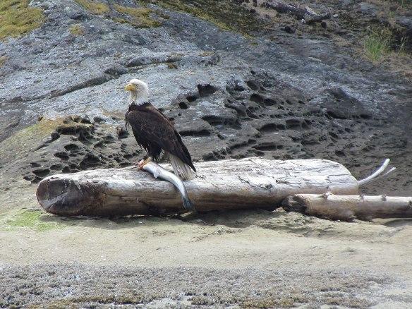 Eagle with Salmon