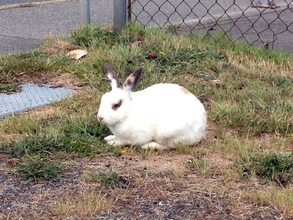 bunny in nanaimo
