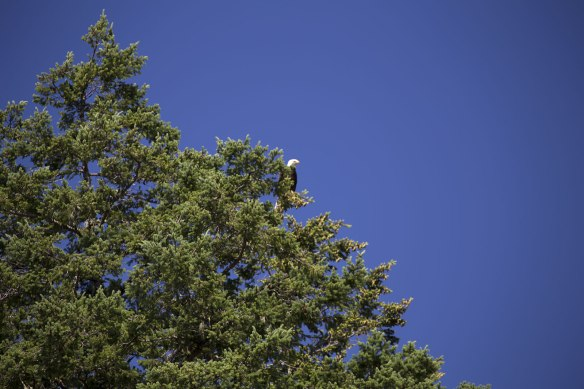 bald eagle in tree