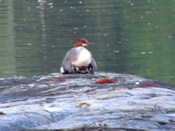 merganser second