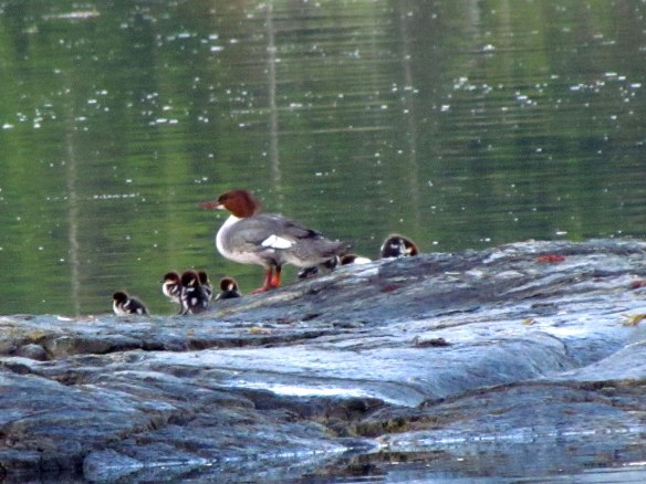 merganser third
