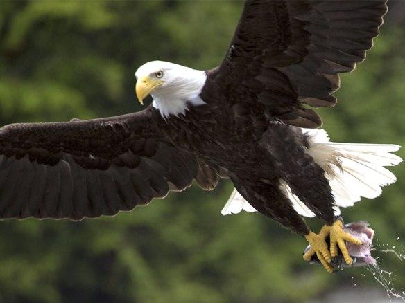 bald eagle 01