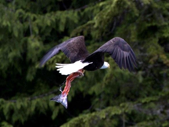 bald eagle 02