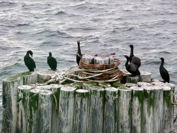 Cormorants on the pilings