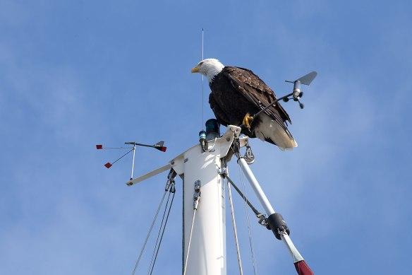 eagle on mast 02