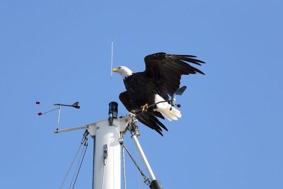 eagle on mast 03