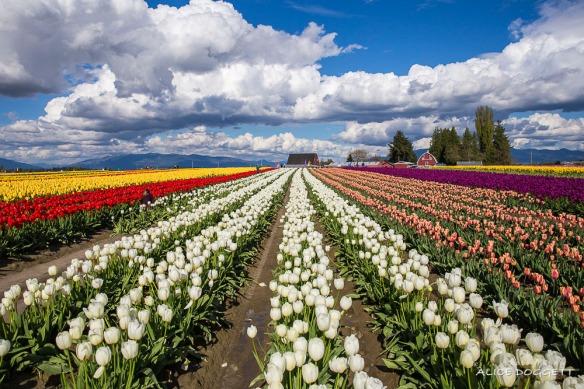 tulip-town